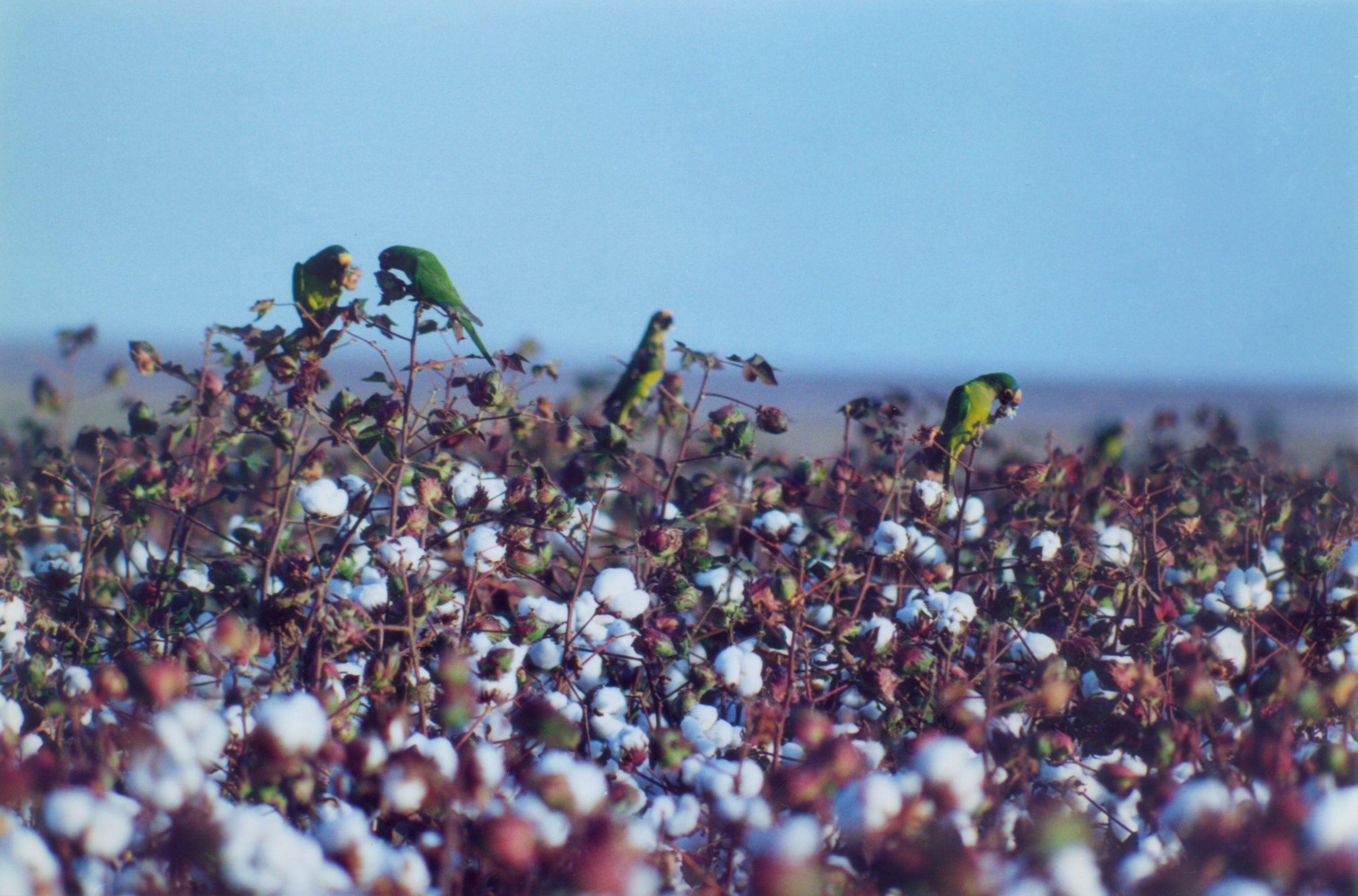 2000 – Plantação de Algodão